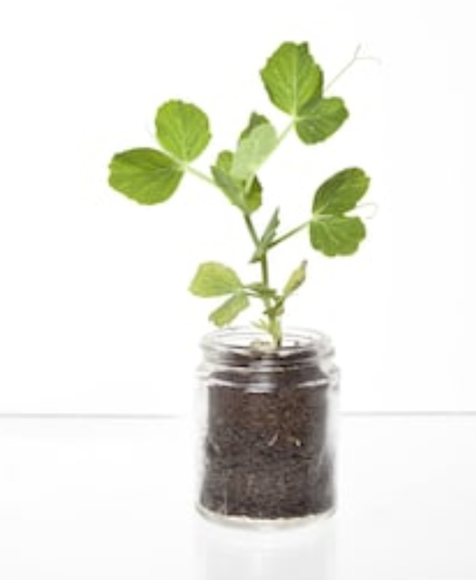 A pea plant in a glass jar